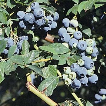 Blueberry Legacy