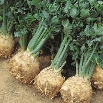 Celeriac Giant Prague (10 Plants) Organic