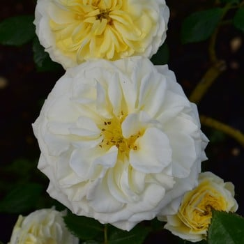 Clarence House - Climbing Rose by Peter Beales