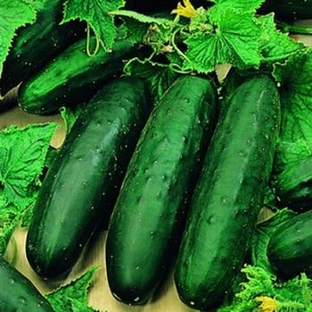 Cucumber Marketmore (5 plants) Organic