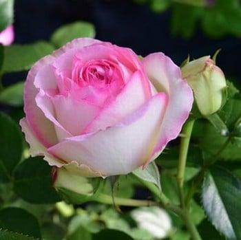 Eden Rose - Climbing Rose by Peter Beales