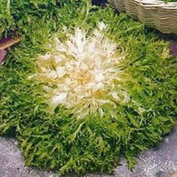 Endive Pancalieri (10 plants) Organic