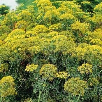 Fernleaf Dill (3 Plants) Organic