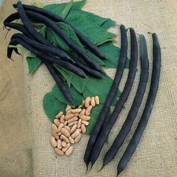 French Climbing Bean Cosse Voilette (10 Plants) Organic