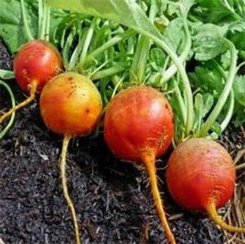 Golden Bolder Beetroot (10 Plants) Organic