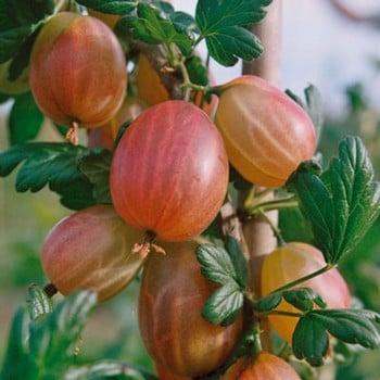 Gooseberry Xenia