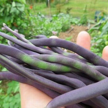 Gourmet Bean and Pea Collection (60 plants) Organic