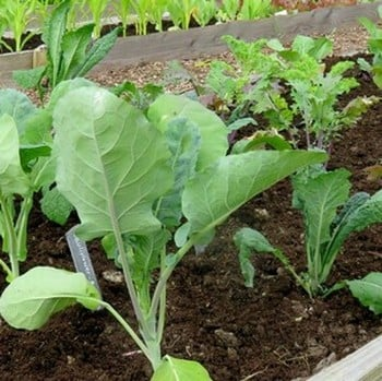 Gourmet Brassica Collection (28 plants) Organic