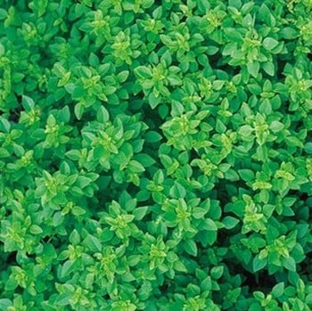 Greek Basil (3 Plants) Organic