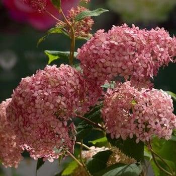 Hydrangea arborescens Invincibelle Spirit