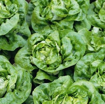 Lettuce Buttercrunch (10 Plants) Organic