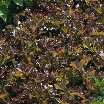 Lettuce Red Salad Bowl (10 Plants) Organic