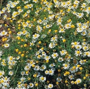 Matricaria Chamomilla Chamomile (3 Plants) Organic