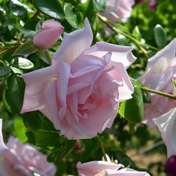 New Dawn - Climbing Rose by Peter Beales