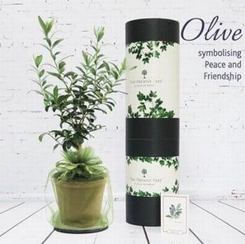 Olive Tree Gift