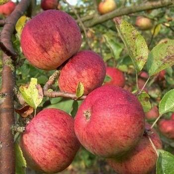 Organic Dabinett Cider Apple Trees