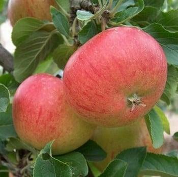Organic Fiesta Apple Trees