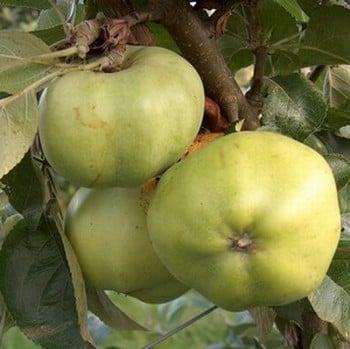 Organic Grenadier Apple Trees