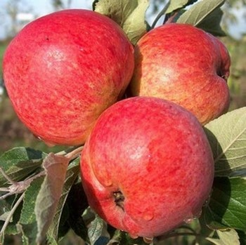 Organic Harry Masters Jersey Cider Apple Trees