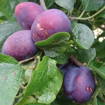 Organic Herman Plum Tree