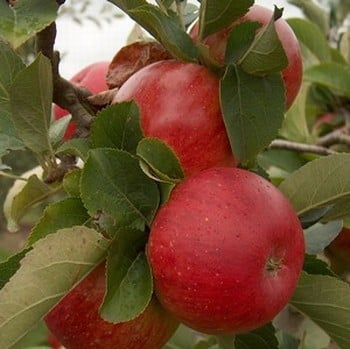 Organic Lord Lambourne Apple Trees
