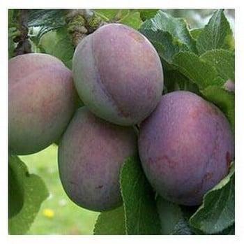 Organic Marjories Seedling Plum Trees