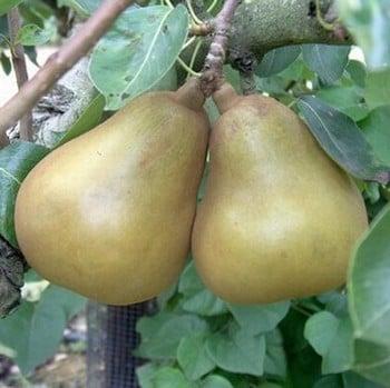 Organic Merton Pride Pear Tree