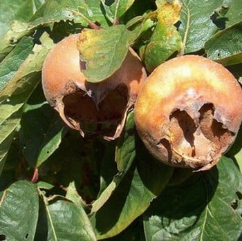 Organic Nottingham Medlar Tree
