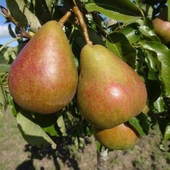 Organic Onward Pear Tree