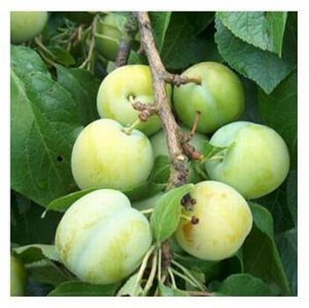 Organic Oullins Golden Gage Plum Trees