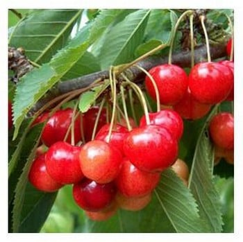 Organic Stella Cherry Trees