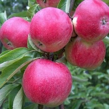 Organic Tydemans Early Worcester Apple Trees