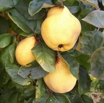 Organic Vranja Quince Tree