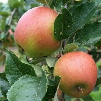 Organic Winston Apple Trees