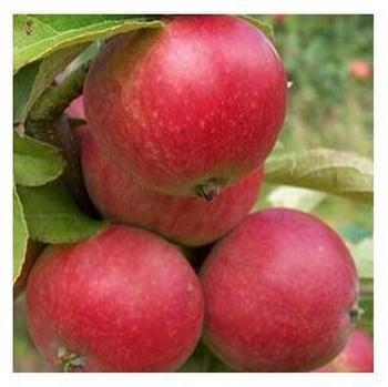 Organic Worcester Pearmain Apple Trees