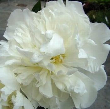 Paeonia Duchess de Nemours