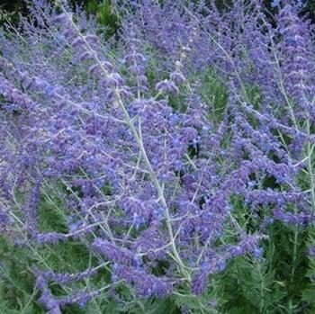Perovskia Blue Spire - Russian Sage
