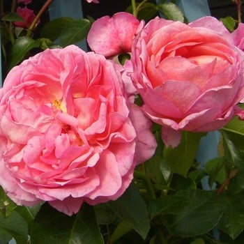 Pippin Climbing Rose by Peter Beales