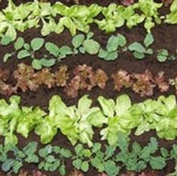 Quick Growing Salad Collection (75 Plants) Organic