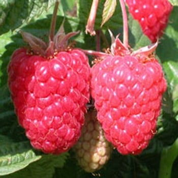 Raspberry Cascade Delight (Pack of 6 Canes)