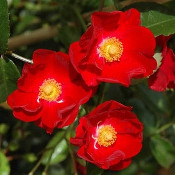 Red Flower Velvet Carpet Rose by Peter Beales