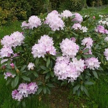 Rhododendron Hoppy