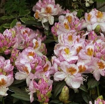 Rhododendron Mrs Lowinsky