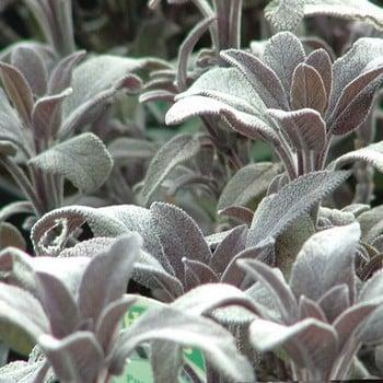 Sage (3 Plants) Organic