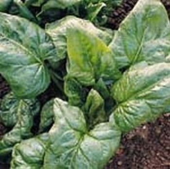 Spinach Perpetual (10 Plants) Organic