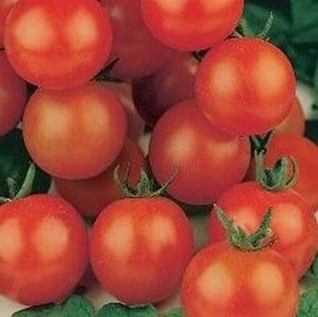 Tomato Tiny Tim (5 Plants) Organic
