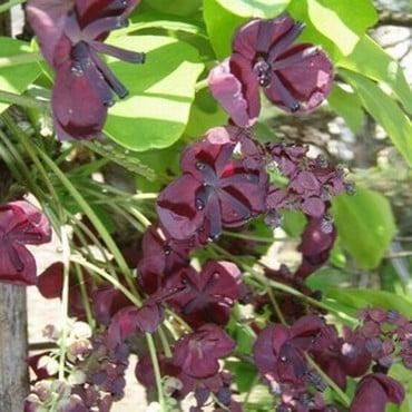 Akebia quinata - chocolate vine