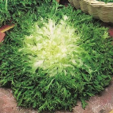 Autumn - Endive - Pancalieri (10 Plants) Organic