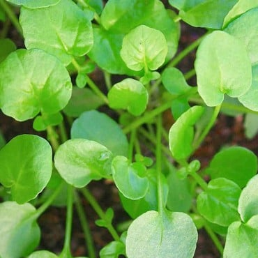 Autumn - Land Cress (10 Plants) Organic
