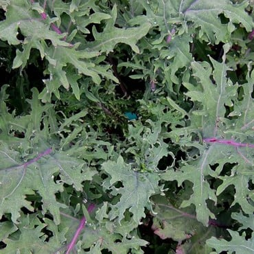 Autumn - Red Russian Kale (10 Plants) Organic